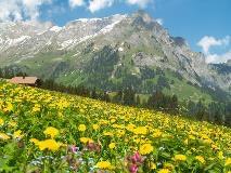 Spring flowers near Engelberg