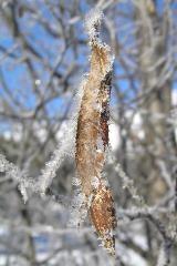 Bevroren boomblad bij Pontresina