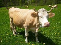 Cow in the Lauterbrunnen valley