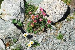 Alpine flowers near Piz Nair