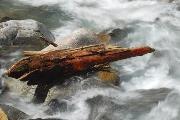 Boomstronk in het Gerewasser