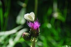 Vlinder bij Oberwald