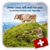 Swiss cows will wait for you