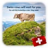 Zwitserse koeien zullen op u wachten