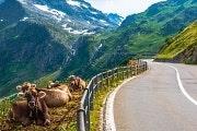 Straße mit Kühen