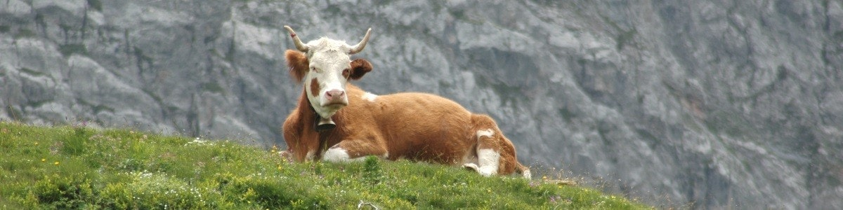 Cow at Grosse Scheidegg